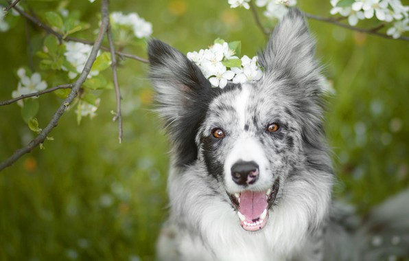 Picture language, face, flowers, branches, mood, dog, spring, garden, flowering, green background, the border collie