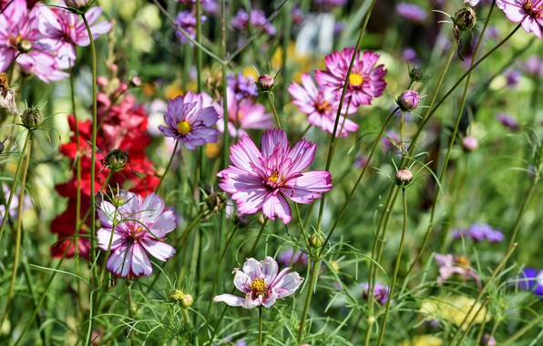 Picture summer, flowers, nature, meadow, kosmeya