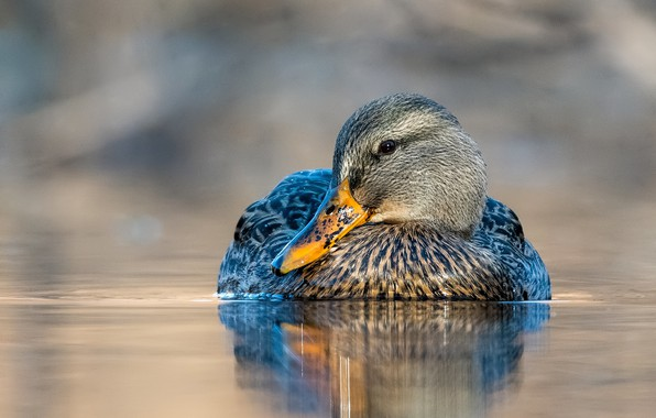Picture water, bird, duck, duck, pond, swimming, bright