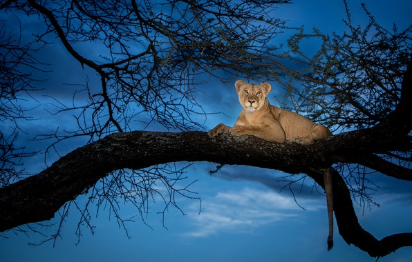Picture the sky, branch, lioness, sky, lioness, branch, Ali Khataw