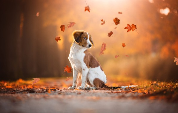 Picture road, autumn, look, leaves, orange, nature, pose, Park, background, foliage, dog, leaves, red, sitting, falling …