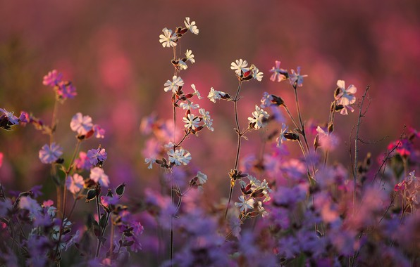 Picture nature, bokeh, Campion