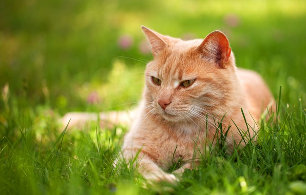 Picture greens, cat, summer, grass, cat, look, pose, stay, relax, spring, red, lies, lawn