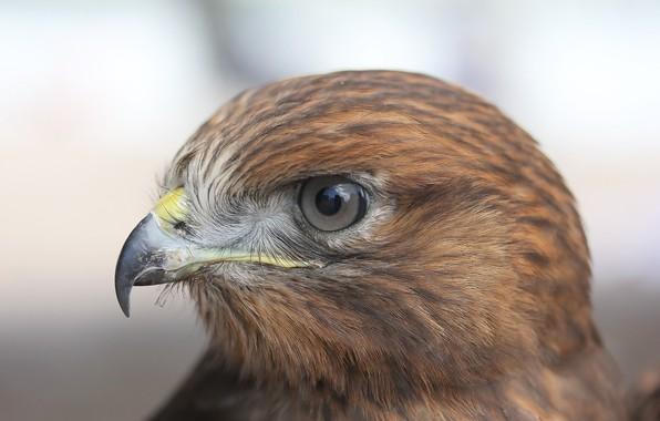 Picture bird, hawk, hishnik