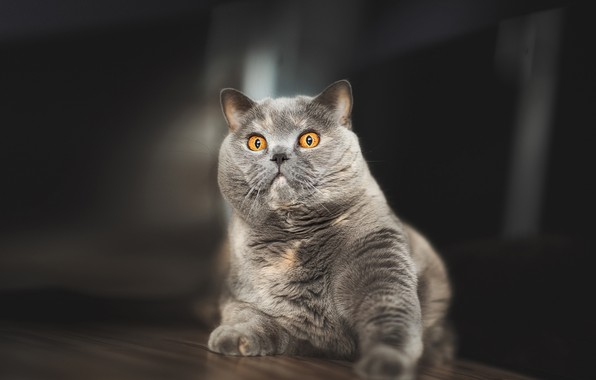 Picture cat, look, grey, British Shorthair