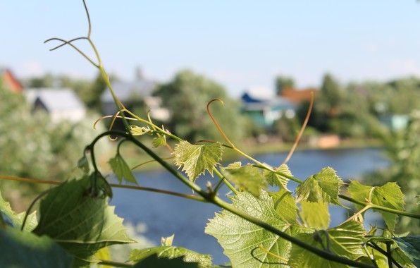 Picture greens, leaves, Summer, the branches of the vines