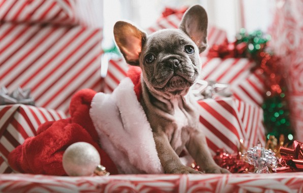 Picture look, dog, puppy, New year, face, doggie, French bulldog