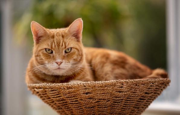 Picture cat, cat, look, red, muzzle, basket, bokeh, cat
