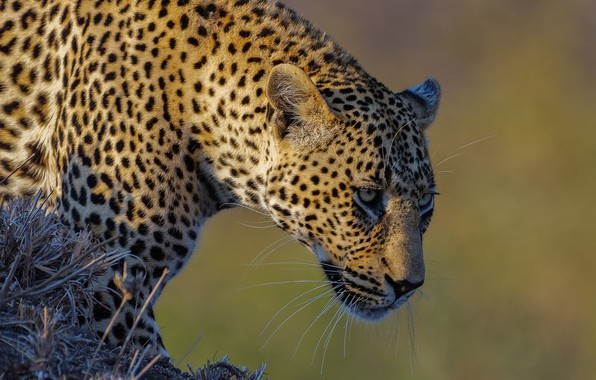Picture face, background, predator, leopard, wild cat