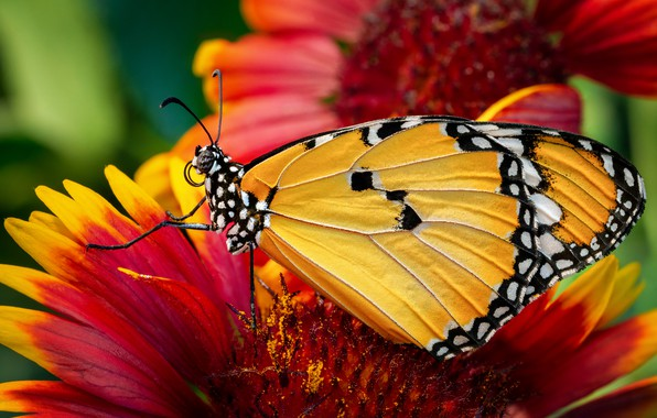 Picture animals, summer, macro, flowers, Butterfly, insect, Monarch krezip