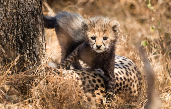 Picture grass, look, light, nature, pose, kitty, background, tree, paws, baby, Cheetah, kitty, face, cub, wild …