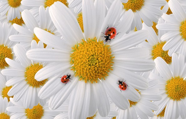 Picture macro, insects, chamomile, petals, bugs, ladybugs