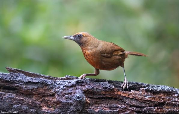 Picture bird, snag, orange breast