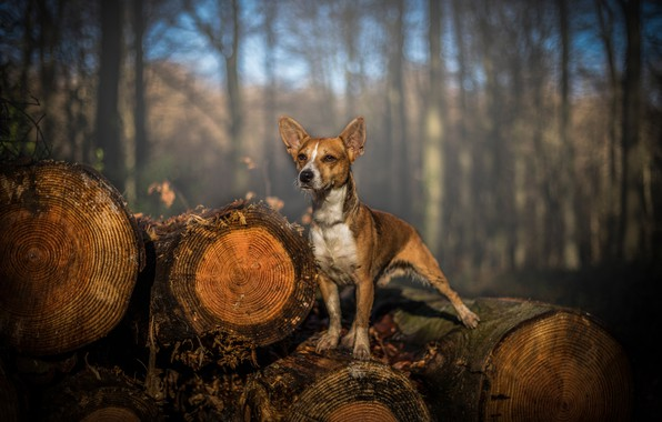 Picture forest, light, trees, nature, pose, background, trunks, dog, log, dog, logs, standing on the log