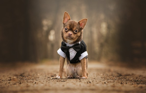 Picture road, look, nature, Park, background, clothing, dog, baby, costume, outfit, cute, puppy, sitting, dog, Chihuahua, …