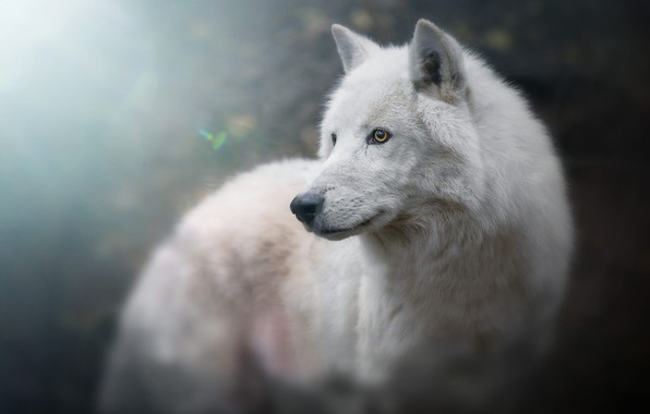 Picture white, look, face, light, background, blue, wolf, portrait, handsome, bokeh, blurred, Arctic, polar