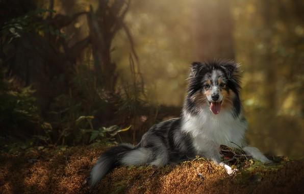 Picture grass, trees, nature, animal, dog, dog, Aussie
