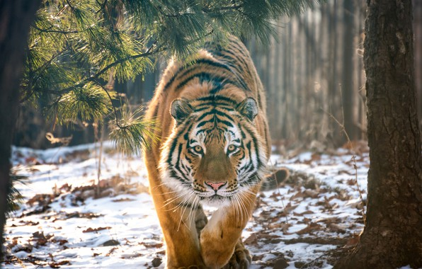 Picture forest, snow, trees, tiger, predator, wild cat, Andrey Grachev
