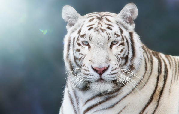 Picture white, look, face, light, tiger, background, blue, portrait, handsome, bokeh, blurred, blue-eyed