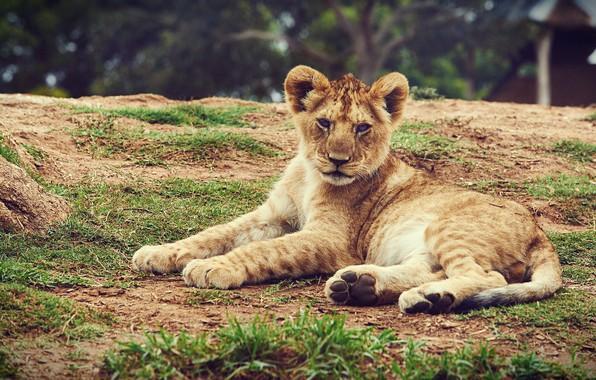 Picture look, face, nature, pose, Leo, lies, wild cat, lion, lion, hill