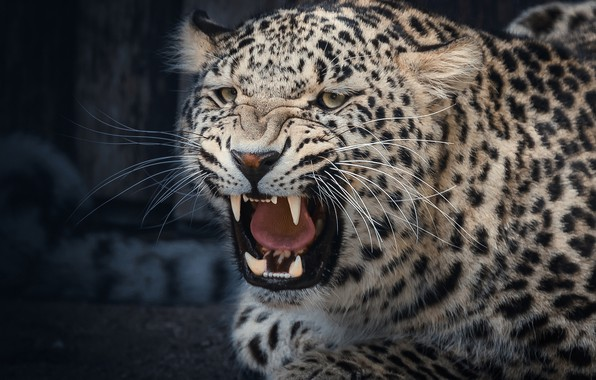 Picture face, mouth, leopard, fangs, grin, wild cat, aggressive