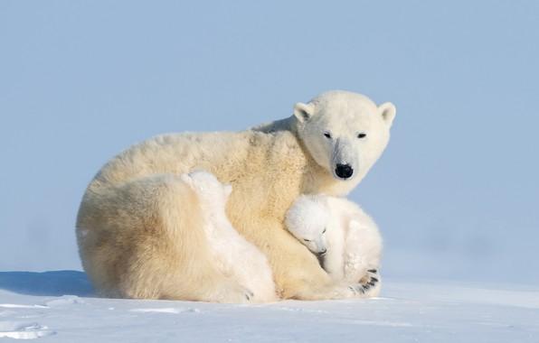 Picture bears, bear, bear, Ursus maritimus, cubs, Hao Jiang