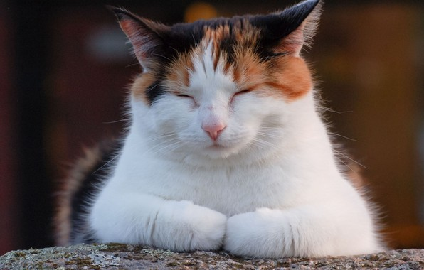 Picture muzzle, sleep, spotted cat