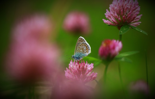 Picture summer, drops, macro, flowers, nature, butterfly, clover