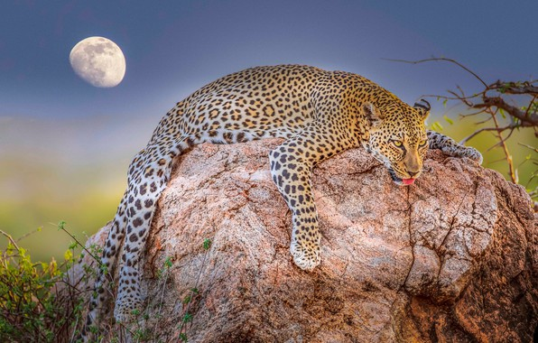 Picture stay, relax, the moon, stone, leopard, wild cat, chill