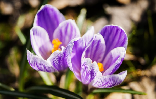 Picture flowers, nature, spring, crocuses, purple flowers, macro flowers nature