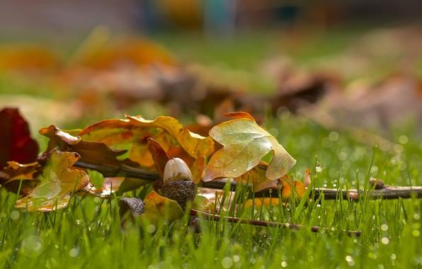 Picture drops, on the grass, acorn, oak leaves, blur bokeh