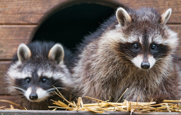 Picture look, face, Board, shelter, Nora, pair, raccoon, wooden, house, booth, a couple, two, zoo, raccoons, …