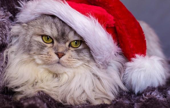 Picture cat, look, portrait, fluffy, muzzle, cap, Kote, kotofeich