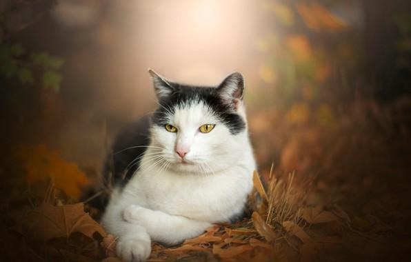 Picture autumn, cat, portrait, bokeh, cat