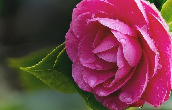 Picture macro, raspberry, Camellia
