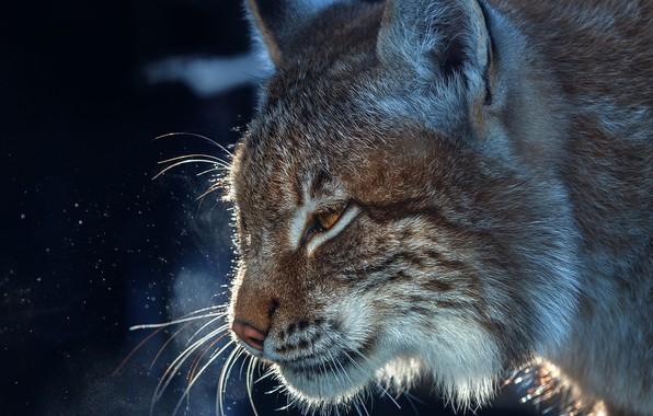Picture face, portrait, profile, lynx, wild cat