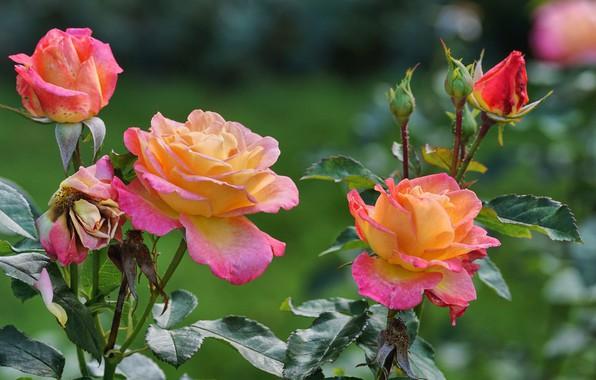 Picture flowers, Bush, roses, bokeh
