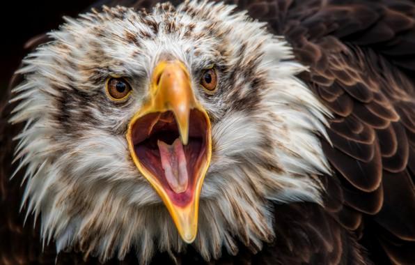 Picture eagle, predator, beak