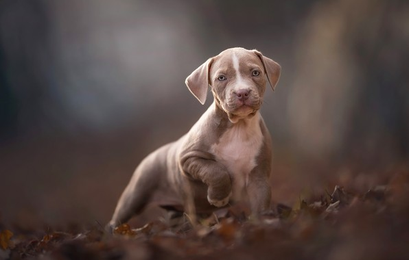 Picture autumn, look, leaves, nature, pose, grey, background, mood, foliage, dog, paws, baby, puppy, face, brown, …