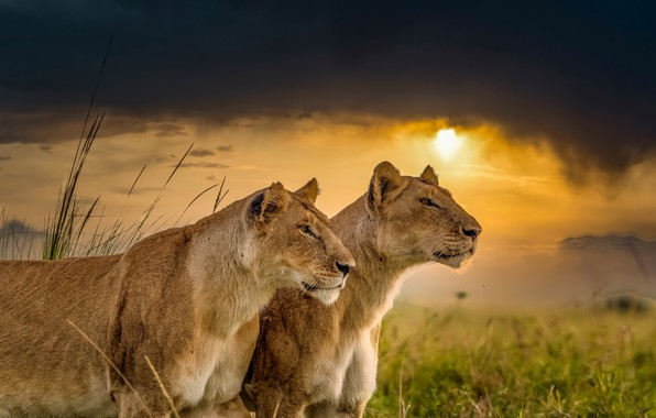 Picture sunset, wild cats, lions, a couple, lioness