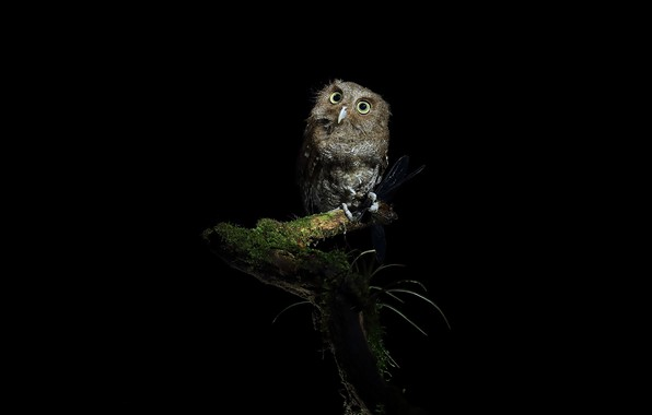 Picture night, owl, branch, black background, mining, the dark background