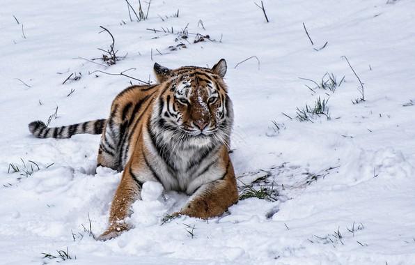 Picture winter, snow, tiger, tiger, winter, snow