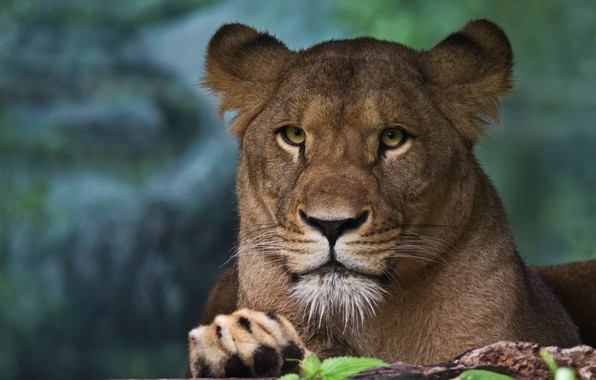 Picture look, face, portrait, lioness, wild cat