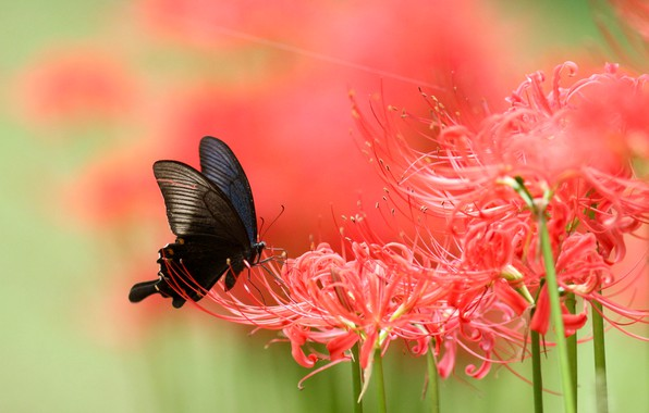 Picture macro, flowers, butterfly, Lily, blur, red, black, insect, green background, spider Lily, spider