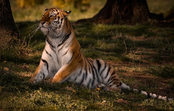 Picture tiger, pose, wild cat
