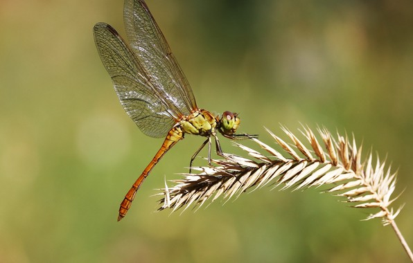 Picture background, dragonfly, insect, a blade of grass