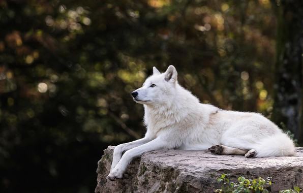Picture white, trees, branches, nature, the dark background, stone, wolf, lies, profile, zoo, bokeh, Arctic, polar, …