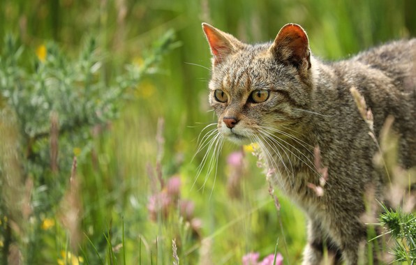 Picture grass, cat, look, face, flowers, nature, grey, background, Bush, portrait, striped, wild cat, wild, forest, …