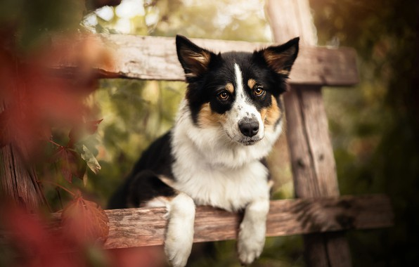 Picture autumn, look, face, dog, paws, bokeh