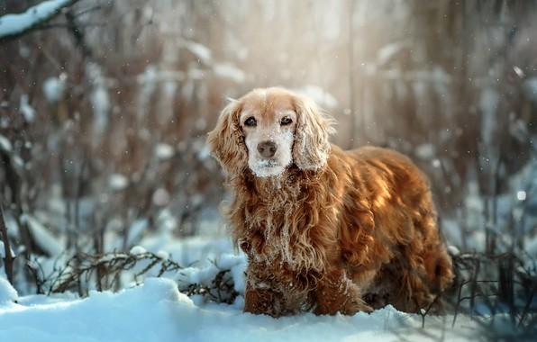 Picture winter, grass, snow, nature, animal, dog, the bushes, dog, Spaniel